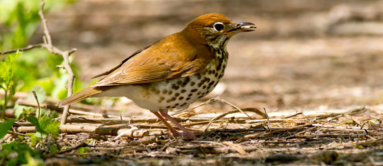 The Song Of The Wood Thrush 8 Steps To Getting Real With